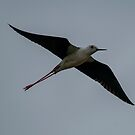 black winged stilt by Grandalf