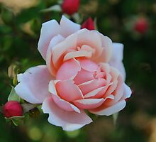 Grandmother's Rose by Craig Goldsmith