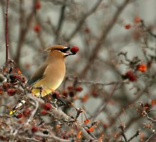 Cedar waxwing by Kelly Hopkins