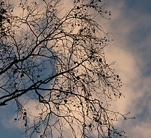 Silver Birch at gloaming, Milltimber, Aberdeen by R. F.  Simpson