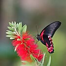 Scarlet Mormon Butterfly by Robert Abraham