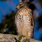 Red-Shouldered Hawk by Denis Wagovich