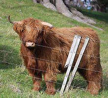 New Zealand Cattle by mvpaskvan
