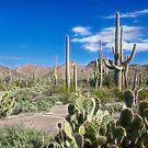 Saguaro National Park by Barbara Manis