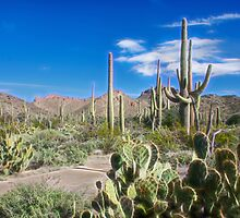 Saguaro National Park by Barbara Manis