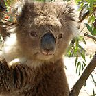 Koala by James Millward