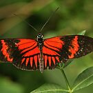 Postman Butterfly by Robert Abraham
