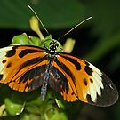 Numata Longwing Butterfly by Robert Abraham