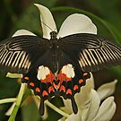 Common Mormon Butterfly by Robert Abraham