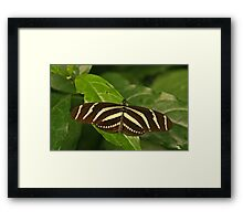 Zebra Longwing Framed Print