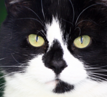 Black and white cat looking at camera Sticker