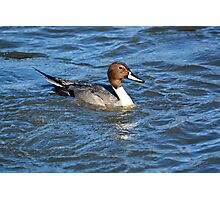 Northern Pintail Duck Photographic Print