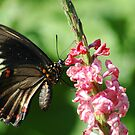 Polydamus Butterfly by Donna Adamski