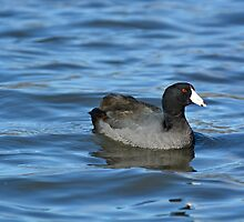 American Coot by Lena127