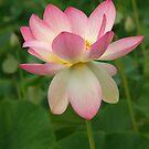 Pink Lotus Flower by Bev Pascoe