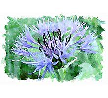 Blue cornflower watercolour Photographic Print