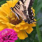 Swallowtail Butterfly And Colorful Zinnias by kkphoto1