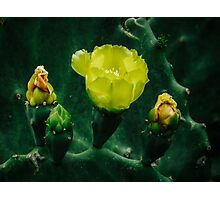 Yellow prickly pear flowers are blooming Photographic Print