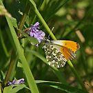 Orangetip Butterfly by Robert Abraham