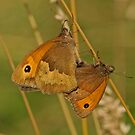 Meadow Brown Butterfly by Robert Abraham