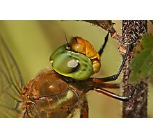 Norfolk Hawker Dragonfly Photographic Print