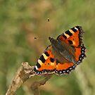 Small Tortoiseshell Butterfly by Robert Abraham