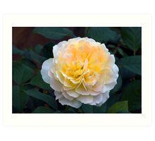 David Austin English Shrub Rose 'Molineux' Art Print
