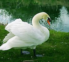 Swan on the riverbank by len Janes