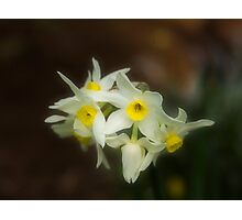 Softly Daffodils Photographic Print