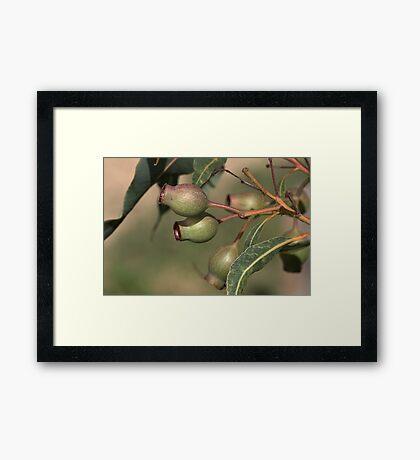 Gumnuts Framed Print