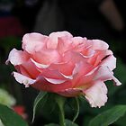 Pink Garden Rose 1 by LNara