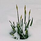 Despite Drifts Defiant Daffodils Doggedly Develop by Yampimon