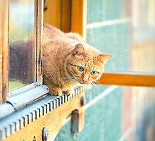 orange cat in the window by Oksana Ariskina