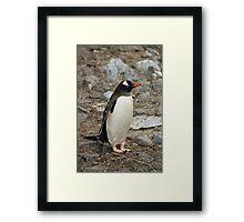 """Gentoo Penguin """"Pygoscelis papua"""" #1 Framed Print"""