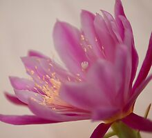 Epipyhyllum ''Pegusus'' by salsbells69