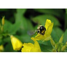Bee with pollen Photographic Print