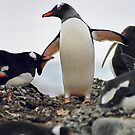 Gentoo penguin &quot;Pygoscelis papua&quot; #2 by Rosie Appleton