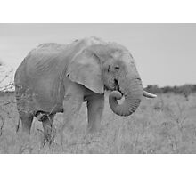 Elephant Bull - Wildlife Peace and Harmony Photographic Print