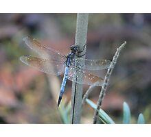 Blue Skimmer Photographic Print