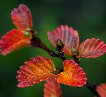 Red Fagus by Garth Smith