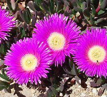 Carpobrotus glaucescens and friends by GeoGecko