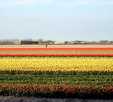 Keukenhof  Serie - The flower field  by Diana F. Sá
