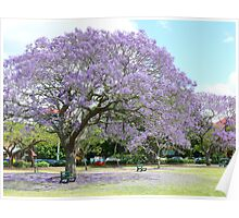 Jacaranda Beauty Poster