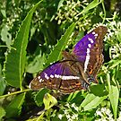 Hispaniolan Purple Emperor Butterfly by Robert Abraham