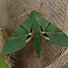 Gaudy Sphinx Moth by Robert Abraham