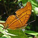 Antillean Daggertail Butterfly by Robert Abraham