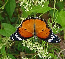 Mimic Butterfly or Danaid Eggfly by Robert Abraham