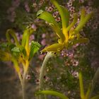 Anigozanthos 'Green/Yellow' Kangaroo Paws by Elaine Teague