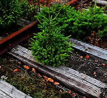 Railroad Bonsai, Crawford Notch, White Mountains National Forest, New Hampshire by Richard VanWart