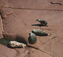 Sea-lions at Point  Labatt Conservation Park,S.A. by elphonline
